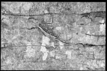 Racine incrustée dans l'écorce du millepertuis de la maison de Kerzafloc'h, Marie-Claire Raoul
