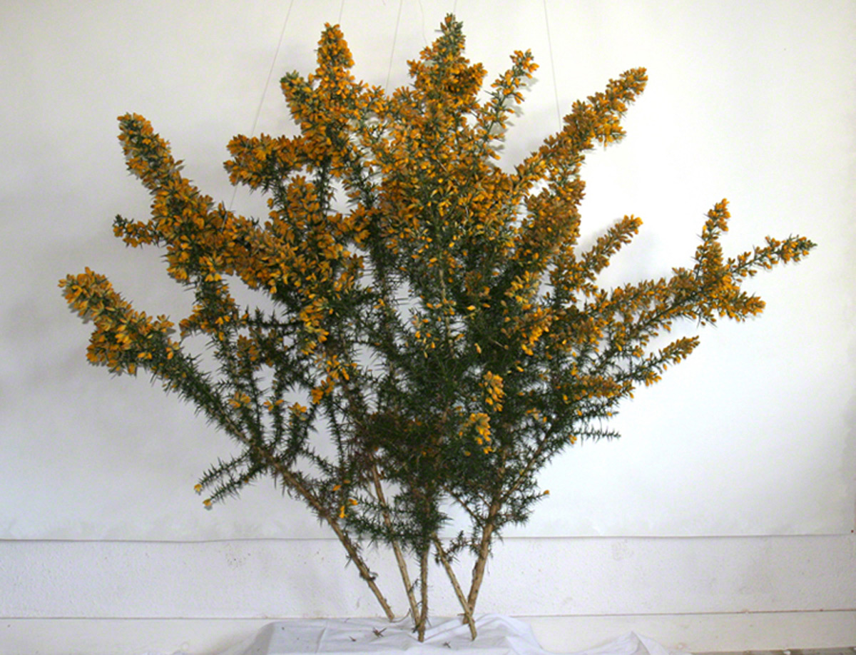 Ulex flowers from Kerzafloch in the studio, Marie-Claire Raoul