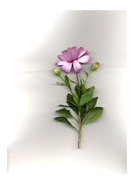 Scanned osteospermum, 14th June 2005, Marie-Claire Raoul