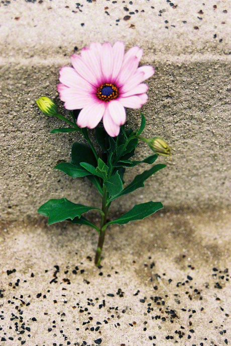 Osteospermum, Brest, Shot 1, 14th June 2005, Marie-Claire Raoul