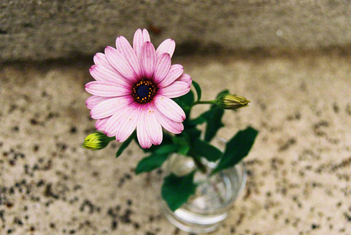 Osteospermum, Brest, shot 2, 14th June 2005, Marie-Claire Raoul
