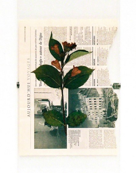 Flower from Kerzafloch dried on Le Monde newspaper, Marie-Claire Raoul