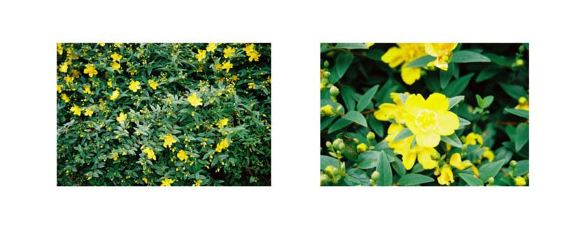 Millepertuis du jardin de Kerzafloch, 2 vues, Marie-Claire Raoul