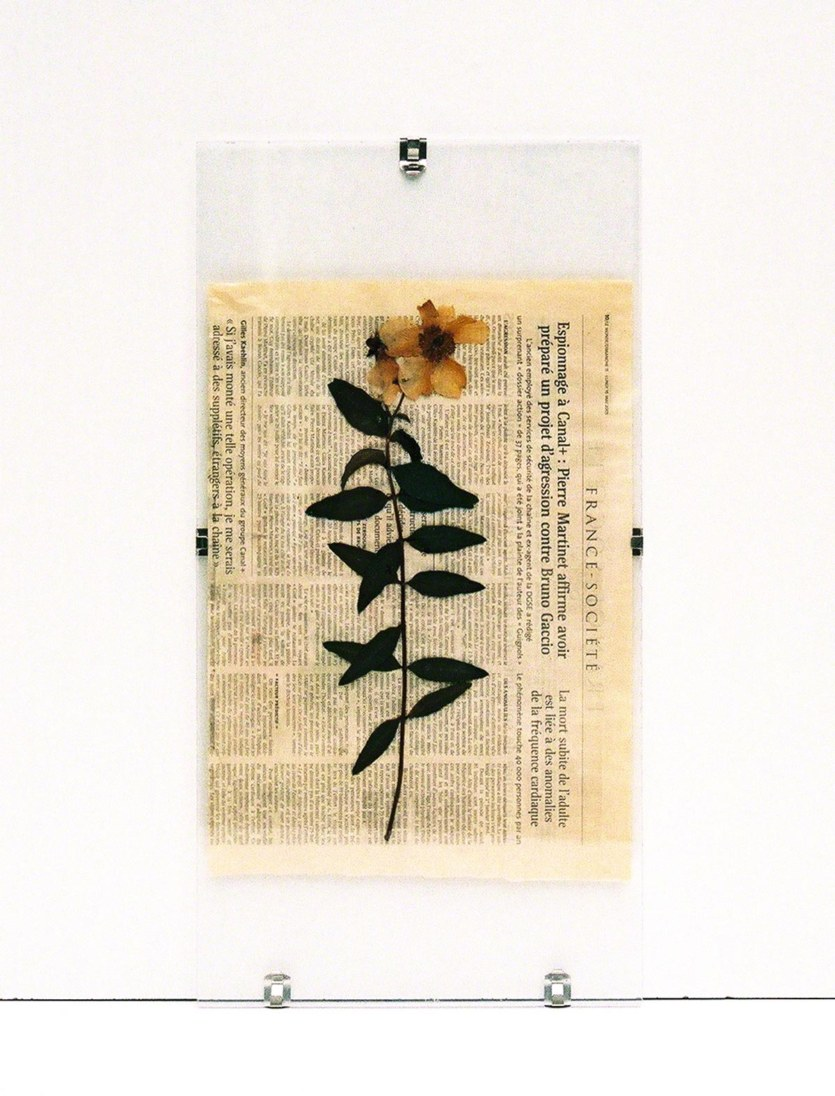 St-John's-wort from Kerzafloch dried on newspaper sheet and pressed under Plexiglas, Marie-Claire Raoul