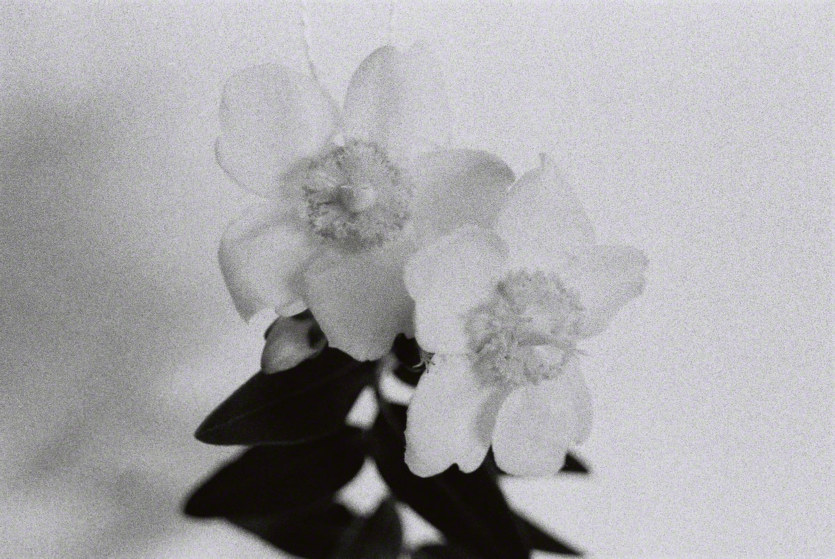 St-John's-wort in the studio #1, silver photograph, Marie-Claire Raoul