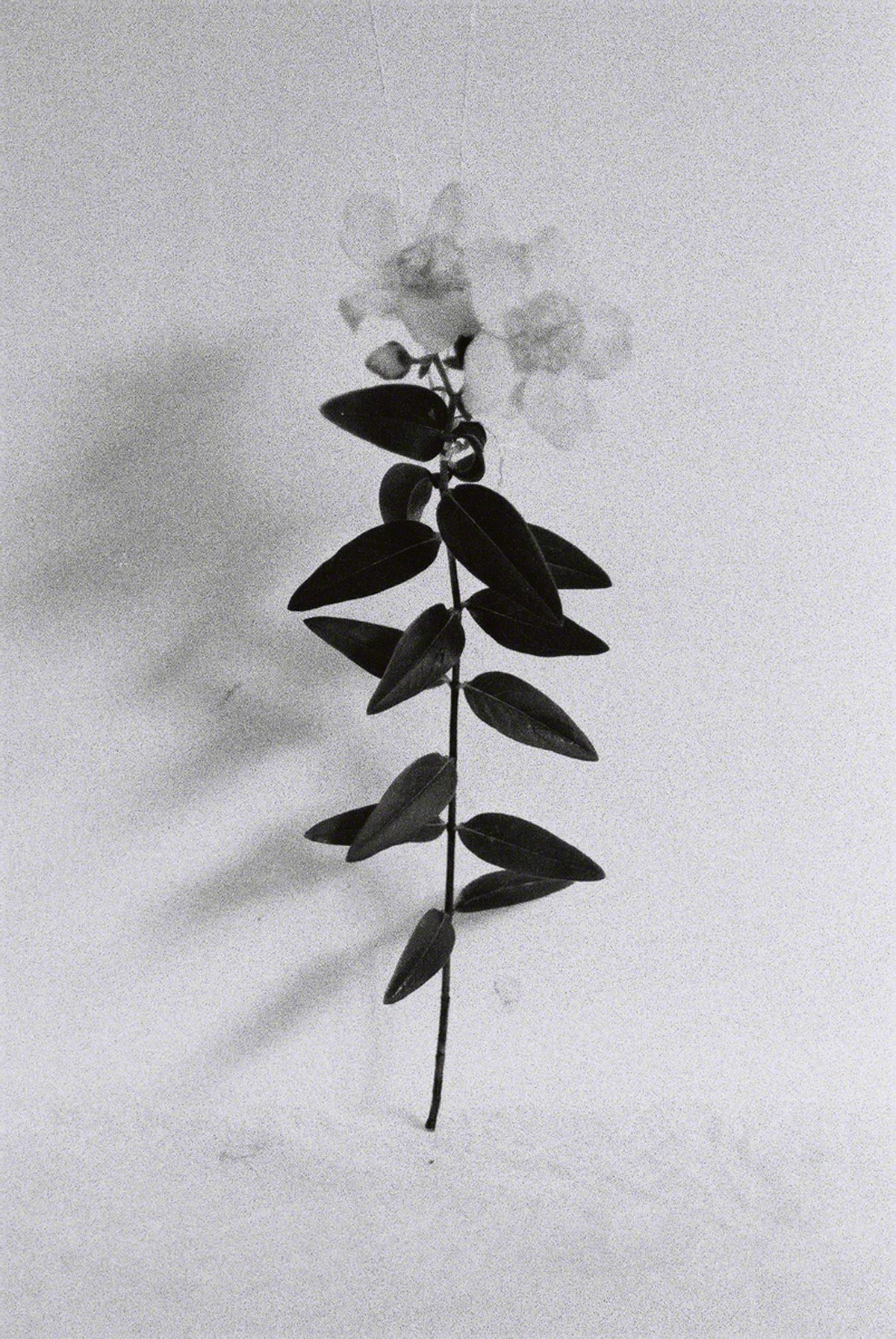 St-John's-wort in the studio #2, silver photograph, Marie-Claire Raoul