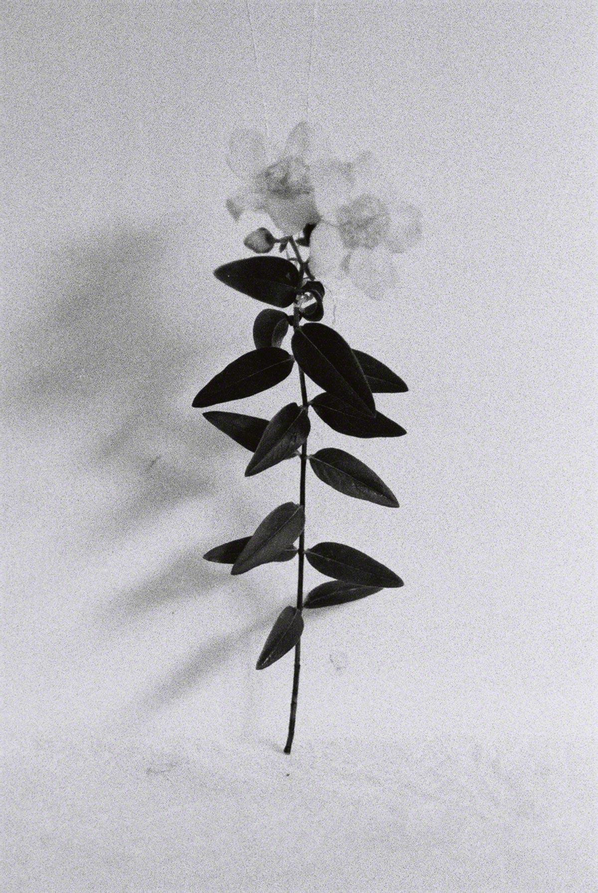 Millepertuis dans l'atelier #2, prise de vue argentique en noir et blanc, Marie-Claire Raoul