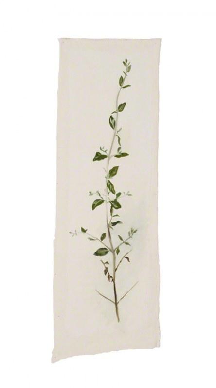 Teucrium fruticans (germandrée arbustive), Marie-Claire Raoul