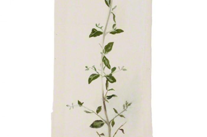 Teucrium fruticans (germandrée arbustive)