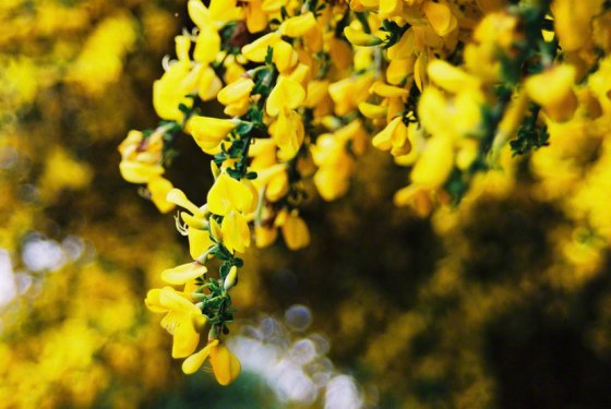 Photograph of broom flowers, Kerzafloc'h, 17.07.05, Marie-Claire Raoul